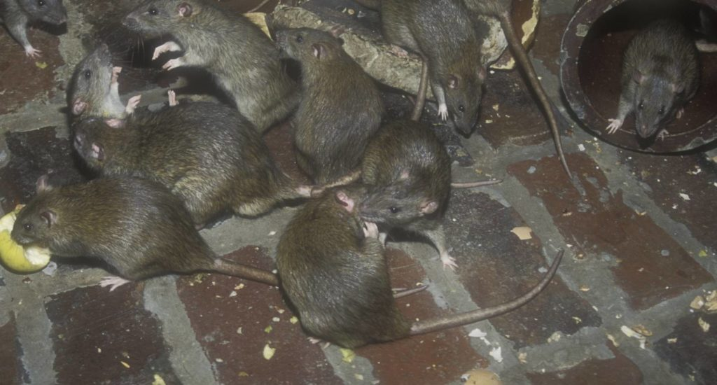 уничтожение крыс в Ставрополе